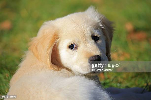 Golden Retriever Puppy Close Up