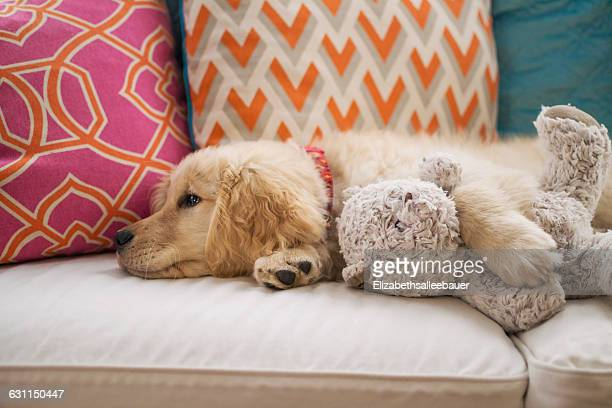 60 Top Golden Retriever Pictures, Photos and Images - Getty Images