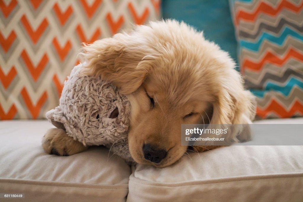 Golden retriever puppy dog lying on sofa with teddy bear : Photo