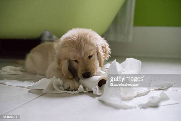 golden retriever puppy dog playing with toilet roll in bathroom - golden retriever stock pictures, royalty-free photos & images