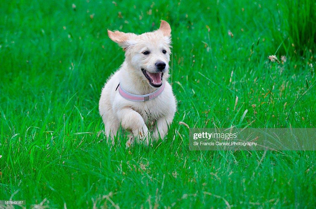 golden retriever puppy happily running in green fi ストックフォト