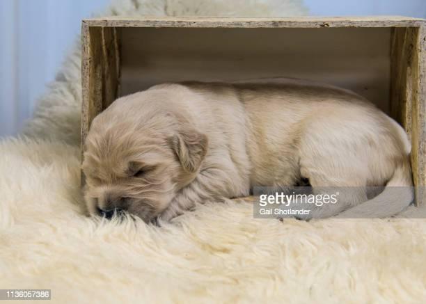 Golden Retriever Puppy in Crate