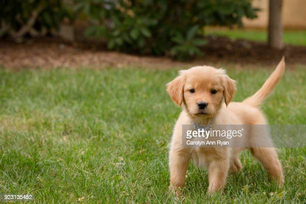 golden retriever puppy in grass - puppies - fotografias e filmes do acervo