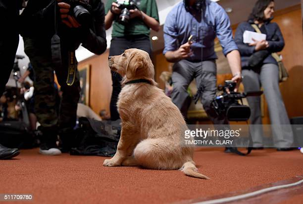 A Golden Retriever puppy is shown to the press during a news conference February 22 2016 in New York at the American Kennel Club who revealed its...