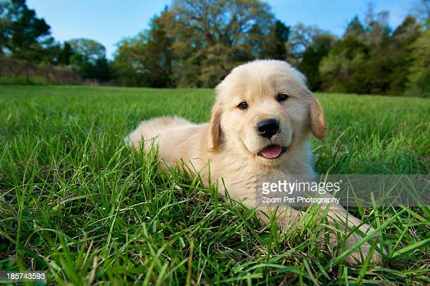 golden retriever puppy lying down on grass - golden retriever stock pictures, royalty-free photos & images