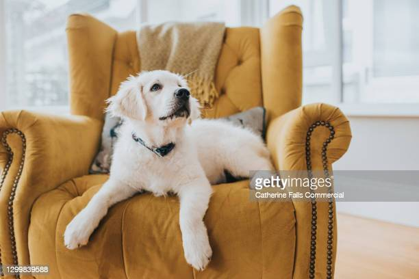 golden retriever puppy lying on a yellow armchair - home interior stock pictures, royalty-free photos & images