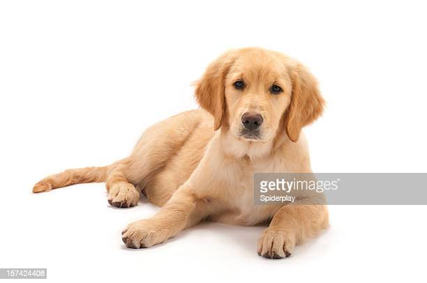 golden retriever puppy on white background - golden retriever stock pictures, royalty-free photos & images