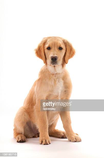 golden retriever puppy - golden retriever stock pictures, royalty-free photos & images