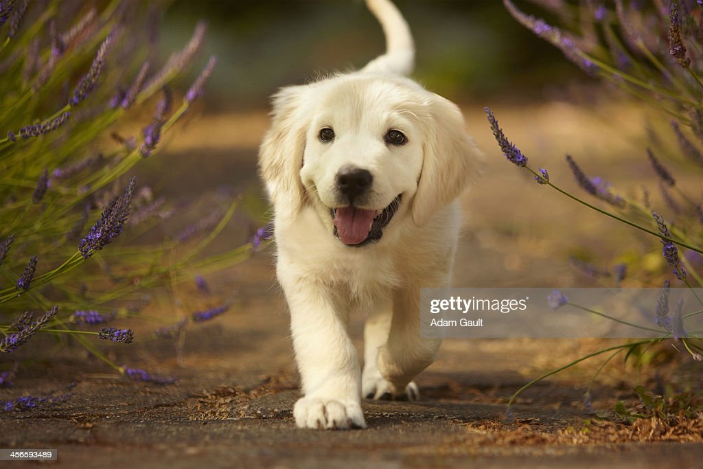 golden retriever puppy stock photo getty images