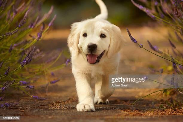 golden retriever puppy - golden retriever stock photos and pictures