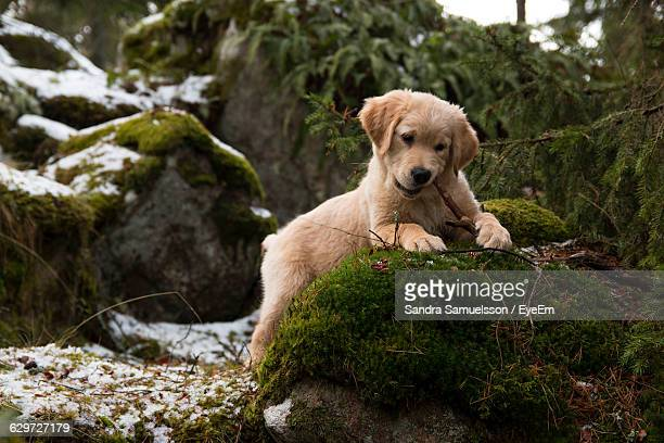 Golden Retriever Puppy Playing With Stick On Rock