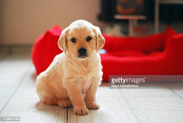 golden retriever puppy portrait - golden retriever stock pictures, royalty-free photos & images