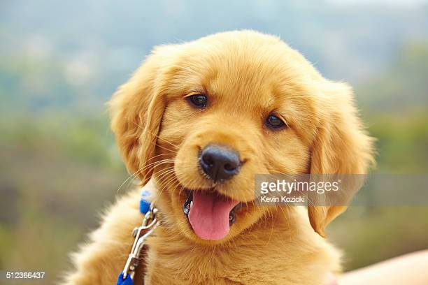golden retriever puppy, portrait - puppies - fotografias e filmes do acervo