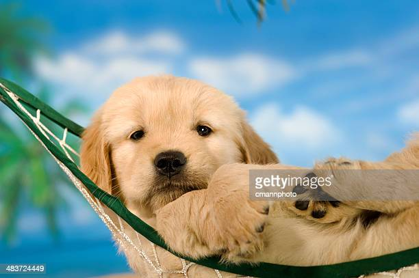 Golden Retriever puppy relaxing in hammock