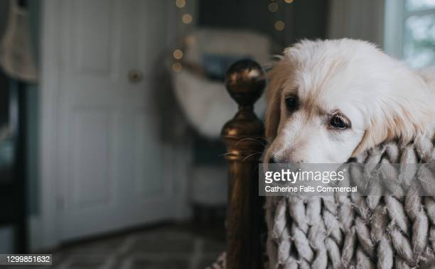 golden retriever puppy rests his chin on a bed post - snout stock pictures, royalty-free photos & images