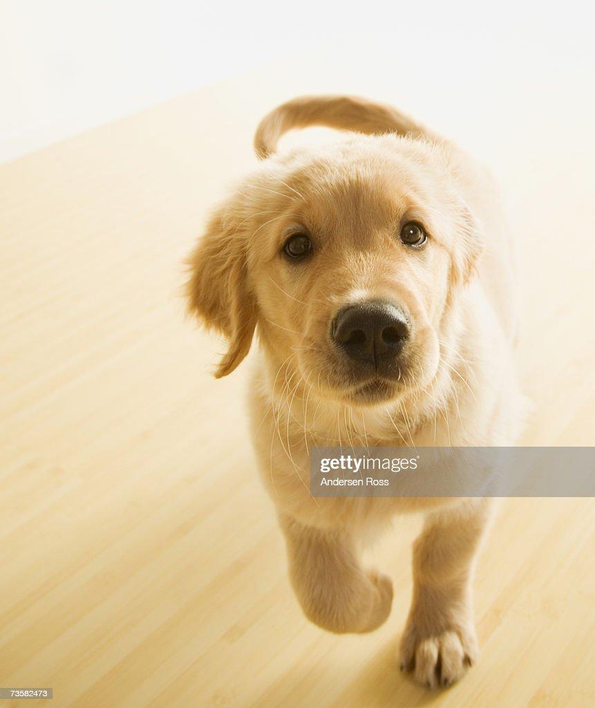 Golden Retriever Puppy Running Stock Photo Getty Images