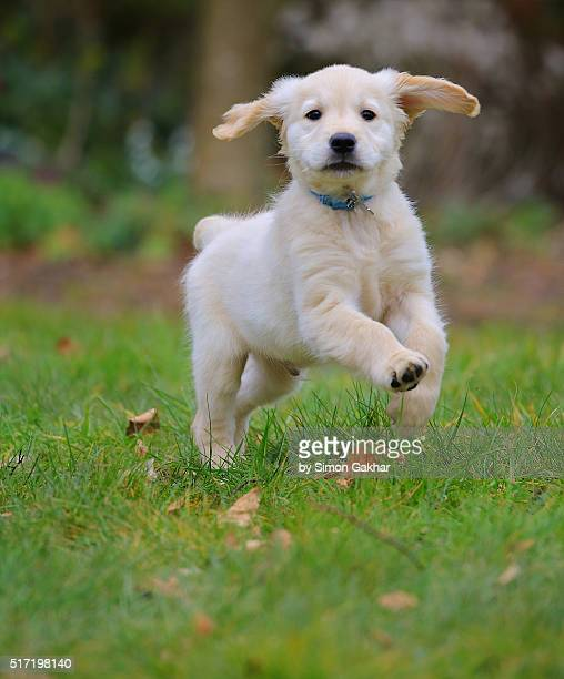 Golden Retriever Puppy Runnning with Ears Flapping