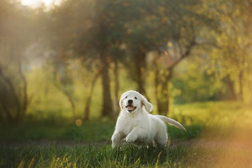 Golden Retriever puppy runs on grass and plays. 963146162