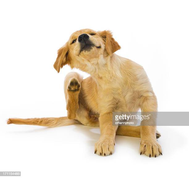 Golden Retriever Puppy Scratching fleas on white background