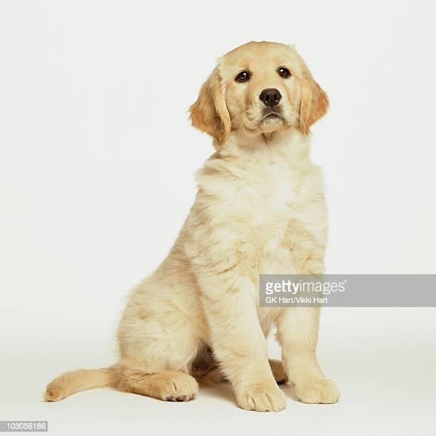 golden retriever puppy sitting on white - golden retriever photos et images de collection