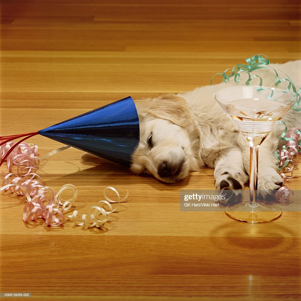 Golden retriever puppy sleeping in party hat with champagne glass on floor : Stock Photo
