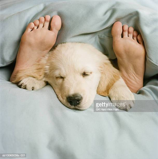 golden retriever puppy sleeping on bed - one animal stock pictures, royalty-free photos & images