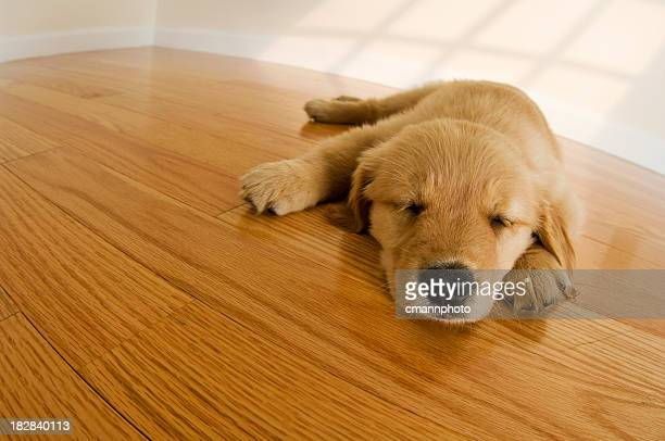Golden Retriever Puppy sleeping on hardwood floor