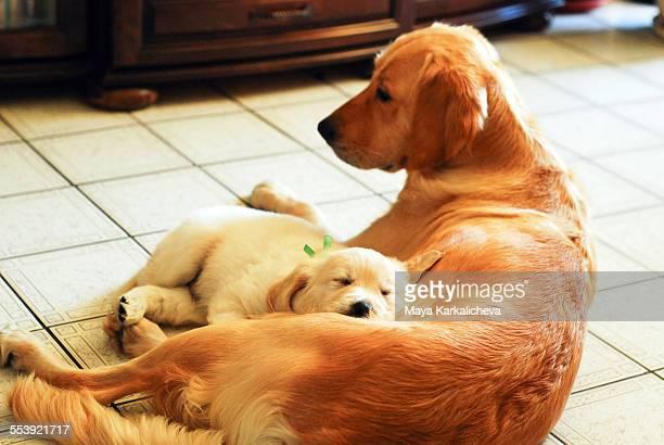 Golden retriever puppy sleeping on mother chest