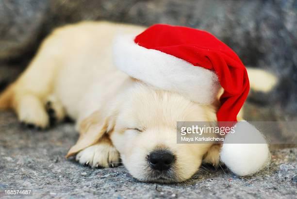 Golden retriever puppy sleeping with Santa hat