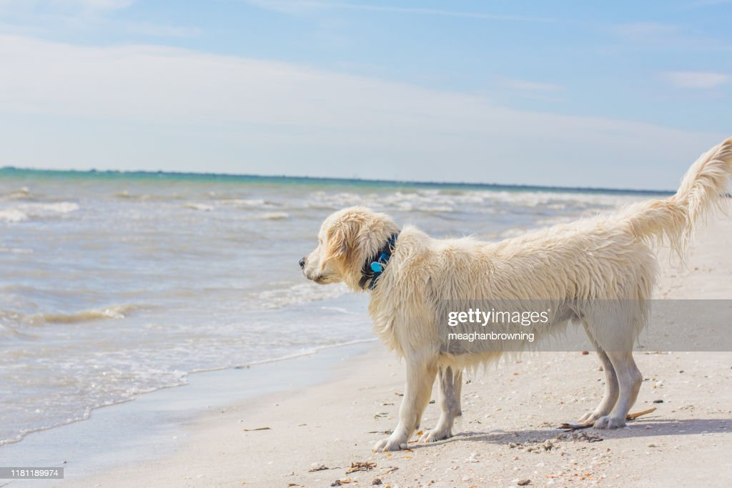 Golden Retriever Puppy Standing On Beach At Waters Edge United States Foto De Stock Getty Images