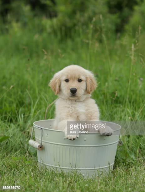 Golden Retriever puppy takes a bath