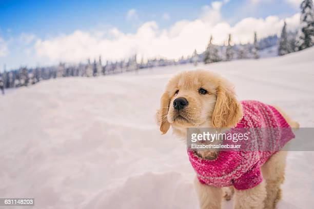 Golden retriever puppy wearing pink sweater playing in the fresh snow