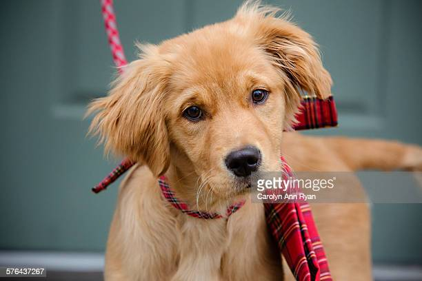 Golden Retriever puppy with Christmas bow