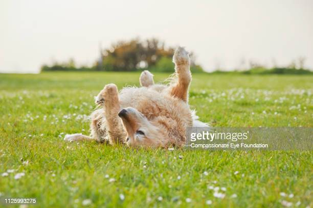 golden retriever rolling on grass in park - de rola imagens e fotografias de stock