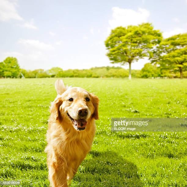 Golden Retriever Running In Park