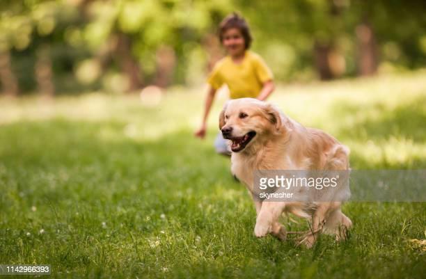 golden retriever en cours d'exécution au printemps au parc. - golden retriever photos et images de collection