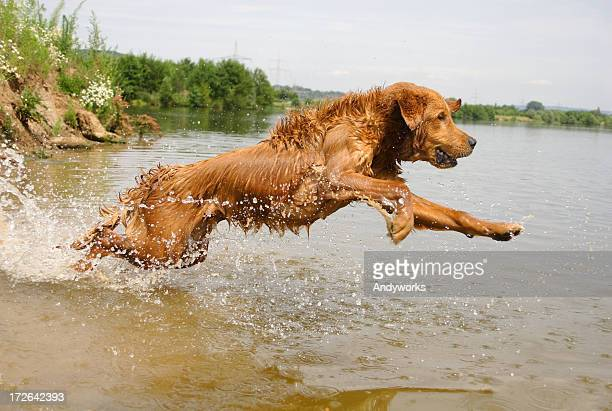 Golden Retriever running into lake