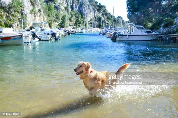 golden retriever running on and splashing water in calanque near cassis, cote d'azur, france - bouches du rhone stock pictures, royalty-free photos & images