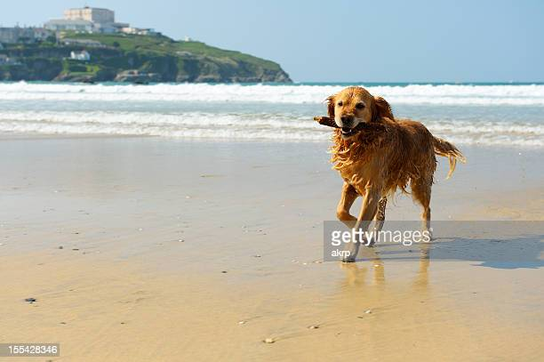 golden retriever running on the beach - cornwall england stock pictures, royalty-free photos & images