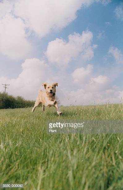 golden retriever running - approaching stock pictures, royalty-free photos & images
