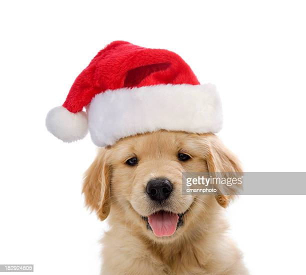 golden retriever santa puppy smiling - christmas dog stock pictures, royalty-free photos & images