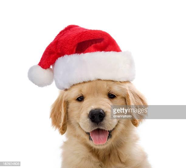 golden retriever santa puppy smiling - santa hat stock photos and pictures