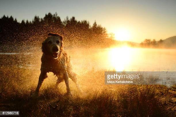 Golden retriever shaking off the water after a morning bath