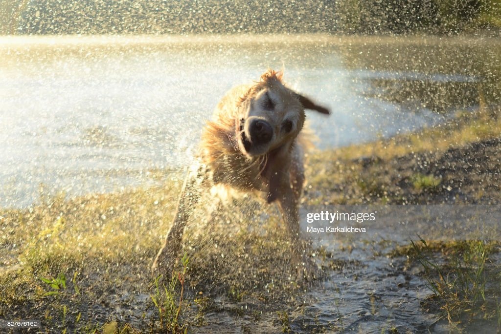 Golden retriever shaking off water at sunrise by the lake : Stock Photo