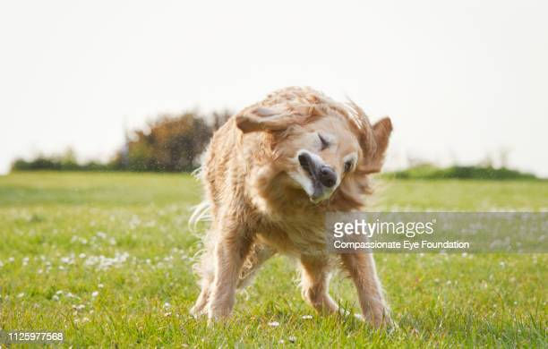 Golden Retriever shaking off water in park
