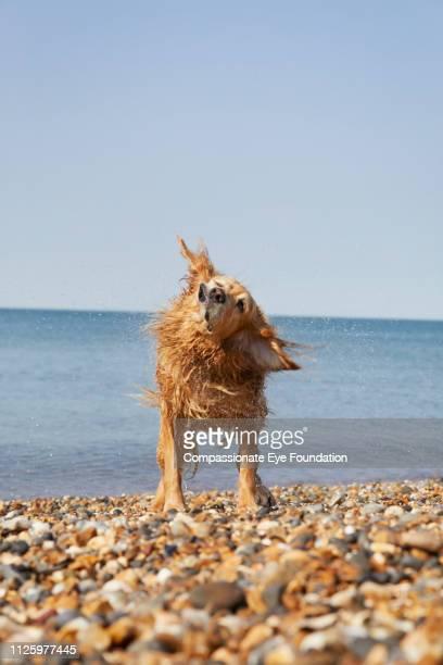 Golden Retriever shaking off water on beach