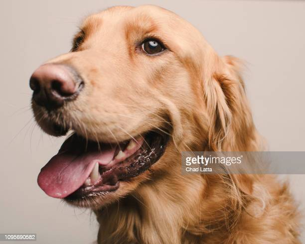 golden retriever sitting for portrait - golden retriever fotografías e imágenes de stock
