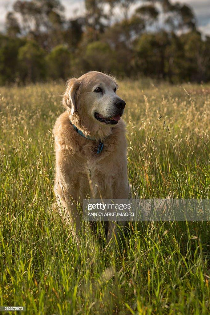 Golden retriever sitting in the long grass : Stock Photo