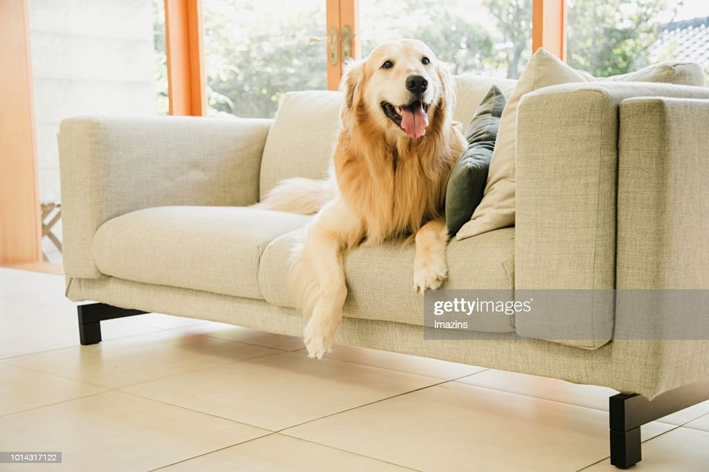 A Golden Retriever Sitting On A Sofa In The Living Room Stock Photo
