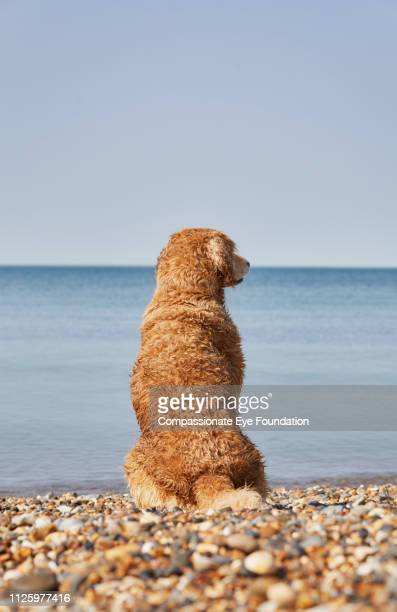 Golden Retriever sitting on beach looking at sea view